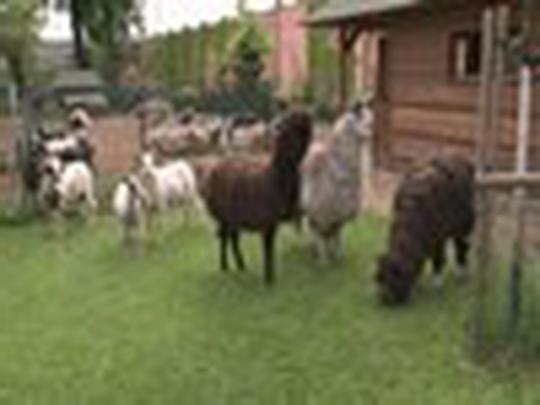 Stříhání vlny ovcí a beranů v Mauglího ranči